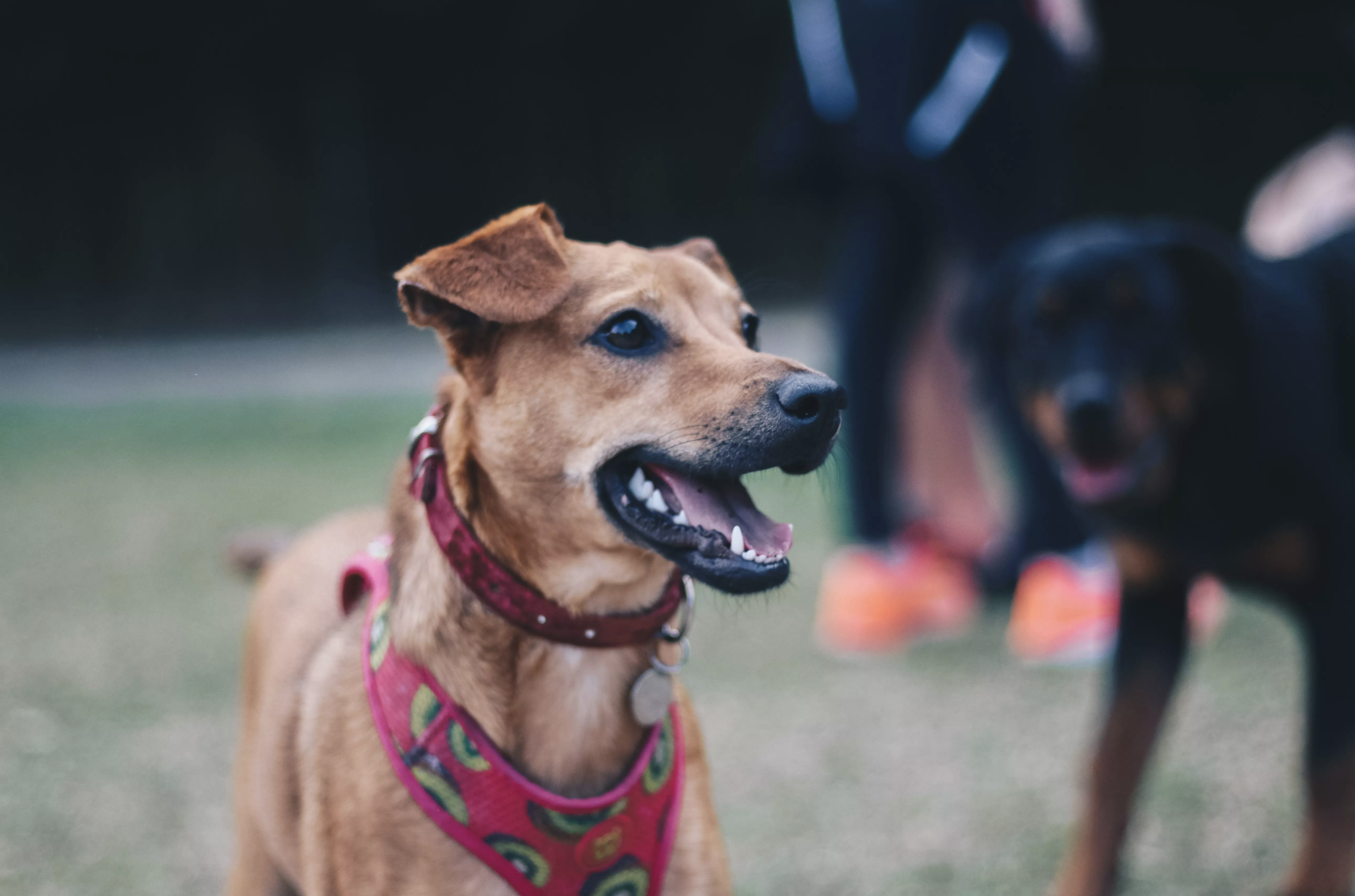 Top 5 Dog Parks in St. Louis